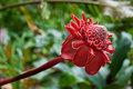 Torch Ginger Stock Photo