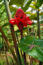 Torch ginger flower with wandering spider on leaf Stock Photo