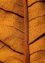 Torkad leaf Fotografering för Bildbyråer