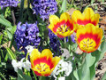 Toronto High Park tulip and Gypsy Queen 2017 Royalty Free Stock Photo