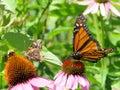 Toronto Lake Junonia coenia and Monarch butterfly 2017
