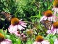 Toronto Lake Monarch butterflies on a flower 2017