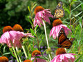 Toronto Lake Monarch butterflies and flowers 2017