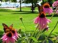 Toronto Lake Monarch butterflies 2017