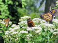 Toronto Lake Monarch butterflies and Red Admiral 2017