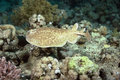 Torpedo ray Royalty Free Stock Image