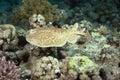 Torpedo ray Royalty Free Stock Photo