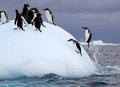 Torpedoing gentoo penguin out of water onto iceberg full of other penguins Royalty Free Stock Photos
