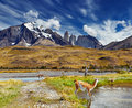 Torres del paine patagonia chile guanaco in national park Royalty Free Stock Photos