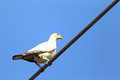Torresian imperial pigeon ducula spilorrhoa in cairns australia Stock Photos