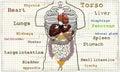 Torso internal Anatomy illustration