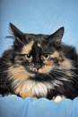 Tortie cat on a blue background and white Royalty Free Stock Photography