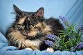 Tortie cat and white on a blue background with flowers Stock Images