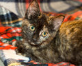 Tortie kitten a young colored looks at the camera Stock Photography