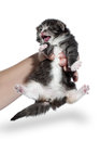Tortie siberian kitten with white on background Stock Image