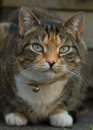 Tortie tabby cat in the garden with green eyes Stock Photos