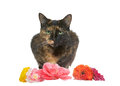 Tortie tabby isolated on white background with flowers Royalty Free Stock Photo