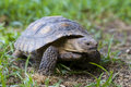 Tortoise Stock Photography