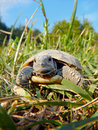 Tortoise baby hermann s testudo hermanni in the grass Stock Photography