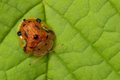 Tortoise beetle Royalty Free Stock Images