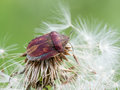 Tortoise bug eurygaster testudinaria on a dandelion clock Royalty Free Stock Images