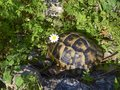 Tortoise with a camomile on the head in the grass Royalty Free Stock Photo