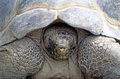 Tortoise close up of a galapagos Royalty Free Stock Photography