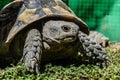 Tortoise closeup Royalty Free Stock Photo