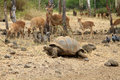 Tortoise and deers Royalty Free Stock Image