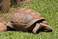 Tortoise eating Grass Royalty Free Stock Images