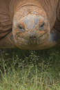 Tortoise eating grass Stock Image