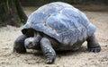 Tortoise galapagos big shot close up nature portrait Stock Photography