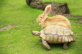 Tortoise and giant rabbit starting a race Royalty Free Stock Photo