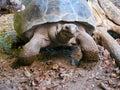 Tortoise giant strolling Royalty Free Stock Image
