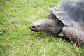 Tortoise On Grass Stock Image