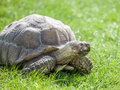 Tortoise on grass the eating Stock Photo