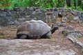 Tortoise old african spurred in captive Royalty Free Stock Images