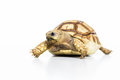 Tortoise pet turtle isolated on white background Royalty Free Stock Images