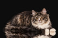 Tortoise siberian kitten on black background Royalty Free Stock Image