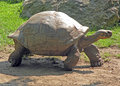 Tortoise walking Stock Image