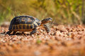 Tortoise walking on rocks south africa a along a rocky path Stock Images