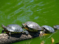 Tortoises Doing Sunbath Royalty Free Stock Images