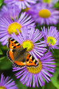 Tortoisesehell butterfly on aster small china flowers in summer Royalty Free Stock Photo