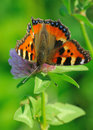 Tortoiseshell butterfly aglais urticae on a flower of clover Stock Photos