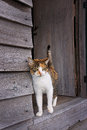 Tortoiseshell cat in door of old wooden shed affectionate female the doorway weather farm Royalty Free Stock Images