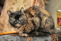 Tortoiseshell cat sits a peering at the photographer Stock Photo