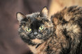 Tortoiseshell cat sits a peering at the photographer Stock Images