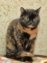 Tortoiseshell cat sits a peering at the photographer Royalty Free Stock Image
