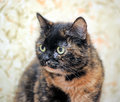 Tortoiseshell cat sits a peering at the photographer Stock Image