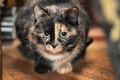 Tortoiseshell cat sits a peering at the photographer Royalty Free Stock Images